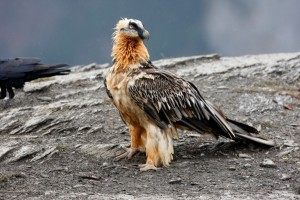 RARE CHICK: This endangered species of vulture is born with a beard