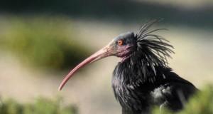 Hermit Ibis - Geronticus Eremita
