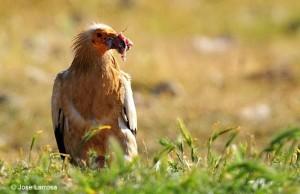 Egyptian vulture feeding